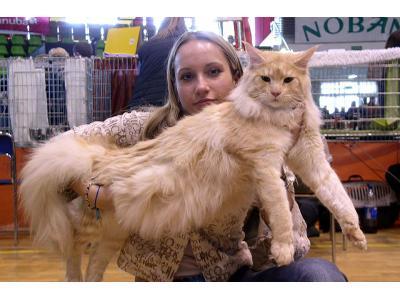 Największe koty hodowlane - kliknij, aby powiększyć