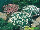 Gojad!Kwiaty ogrodowe,rabatowe,chryzantemy!!!, Białystok, podlaskie