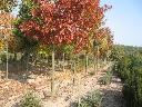 Drzewa do nasadzen (alejowe) (Dab.Klon,Jesion,Buk), Pleszew, wielkopolskie