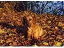 jesienny rhodesian