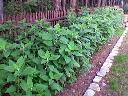 Ziemniak bulwiasty - topinambur, Powidz,Ostrowo, wielkopolskie