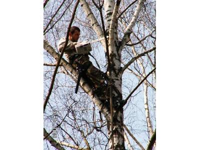 WYCINANIE WYCINKA DRZEW Przycinanie gałęzi