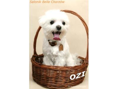strzyżenie psów-maltańczyk-zdjęcia psów-psie fryzury-Salonik Bella Chorzów- 880 024 430 - kliknij, aby powiększyć