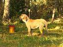Fila brasileiro - doskonałe szczenięta, Dobre, mazowieckie