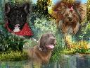 PSY GAJI   hodowla psów rasowych, Sztum, pomorskie