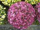 Sprzedam chryzantemy drobnokwiatowe - producent, Legionowo, mazowieckie