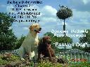 psy, szczenięta, szczeniaki, psy rasowe, labrador,, Krasocin, świętokrzyskie