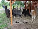Alpaki, alpaka - Hodowla CYGNUS, Poczesna, śląskie