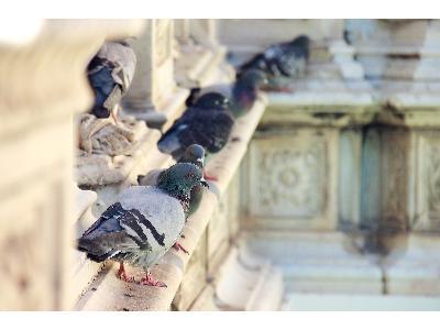 Jak się pozbyć gołębi z balkonu?