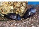 Sprzedaż rybek akwariowych- import z Tanganiki, Sieradz, łódzkie