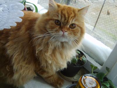 Topnotch Oddam w dobre ręce kotki perskie, Lipno, kujawsko-pomorskie FM48