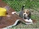 Domowa Hodowla Beagle Z Żywieckich Łączek, Żywiec, śląskie