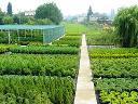 krzewy ozdobne,tuje,świerki,żywopłoty,nawadniane, Ryńsk, kujawsko-pomorskie