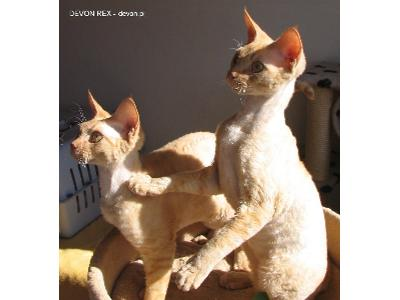 Wszystkie nowe Rasowe kocięta kociaki Devon Rex sprzedam cena, Bielsko-Biała WF14
