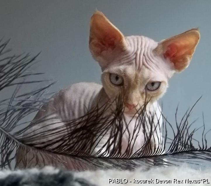 Unikalne Rasowe kocięta kociaki Devon Rex sprzedam cena, Bielsko-Biała ZE08