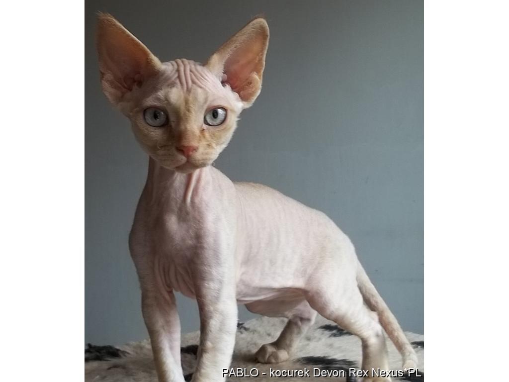 Wspaniały Rasowe kocięta kociaki Devon Rex sprzedam cena, Bielsko-Biała RB12