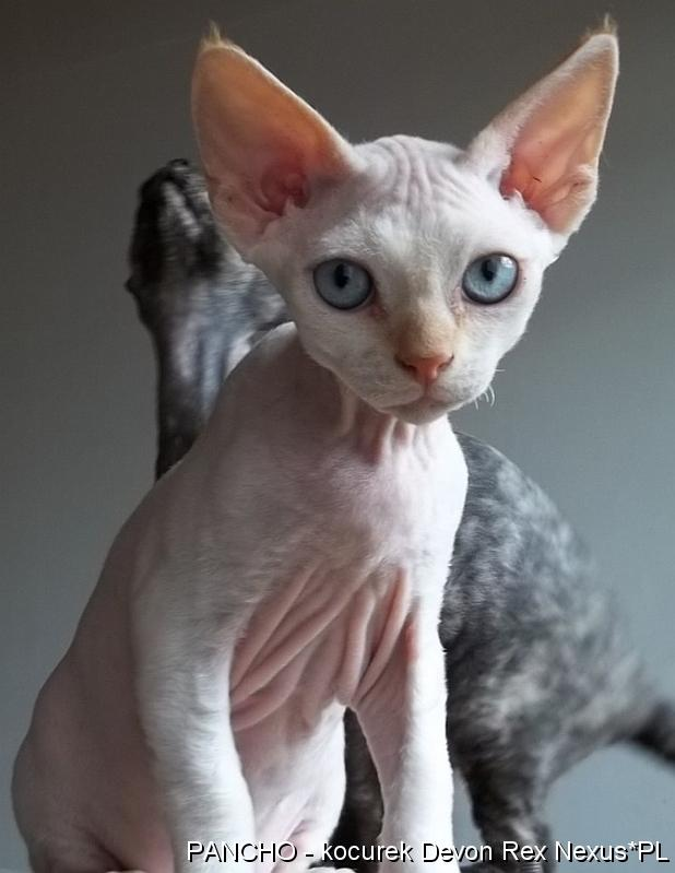 Super Rasowe kocięta kociaki Devon Rex sprzedam cena, Bielsko-Biała CR31