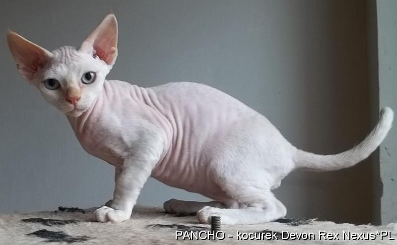 Wspaniały Rasowe kocięta kociaki Devon Rex sprzedam cena, Bielsko-Biała FD73
