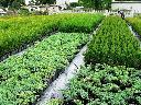 krzewy ozdobne, producent, tuje, rośliny, , świętokrzyskie, małopolskie, podkarpackie, świętokrzyskie