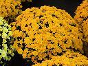 Producent  -  chryzantemy doniczkowe drobnokwiatowe