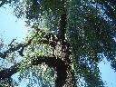wycinka drzew, podcinka drzew, ścinka drzew, , dobczyce, skawina, bochnia, Myślenice, małopolskie