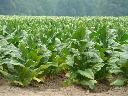 Wholesale unprocessed tobacco Virginia, Burley, Or