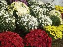 Chryzantemy doniczkowe, chryzantemy drobnokwiatowe, producent, kwiaty